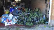 VIDEO. Cannabisplantage ontmanteld in woning waar vorige week levenloos lichaam werd aangetroffen