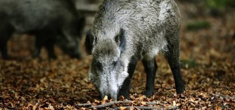 Boswachter waarschuwt: voeren van wilde zwijnen is gevaarlijk