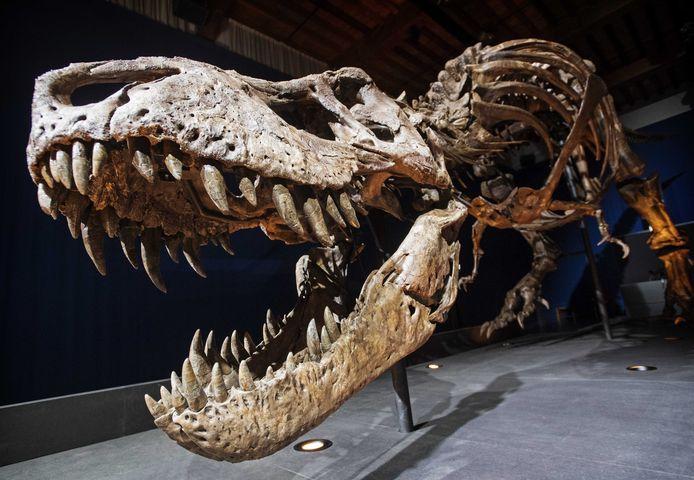 De fossiele overblijfselen van een tyrannosaurus rex in het Natuurhistorisch Museum in Leiden (beeld ter illustratie).