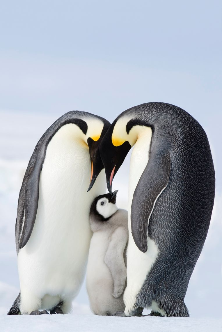 'March of the Penguins 2' Beeld RV
