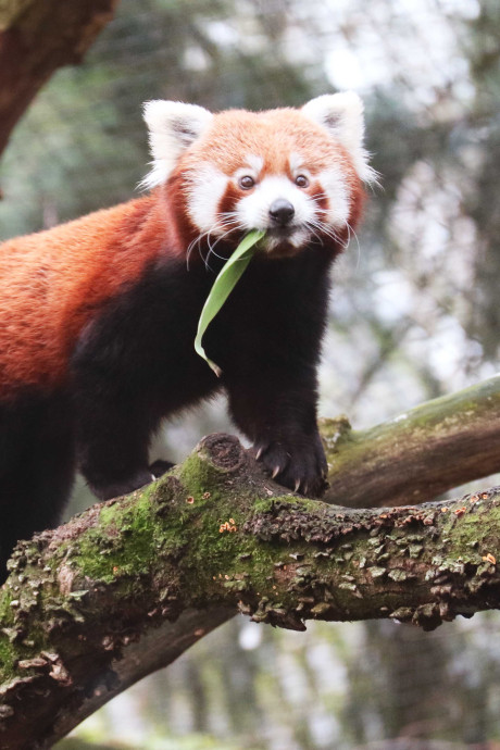 DierenPark Amersfoort verwelkomt rode panda Yena
