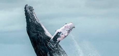 Tweede Wereldoorlog bezorgde walvissen stress blijkt uit oorsmeer