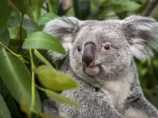 Des matières fécales peuvent sauver des koalas affamés