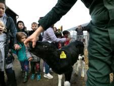 Wanneer geeft een koe melk?
