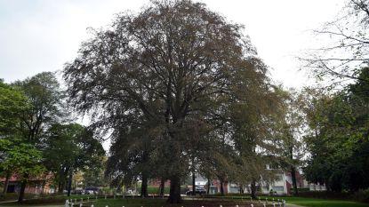 Rode Beuk maakt kans op titel 'boom van het jaar'