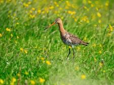 Alarm geslagen om weidevogels: 'Jongen komen in de knel door woekerend gras'