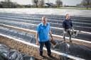 Met een aspergekistje en speciaal steekmes lopen Herman Ogink en Martin Zieleman langs de met zwart zeil bedekte zandruggen op zoek naar opkomende asperges.