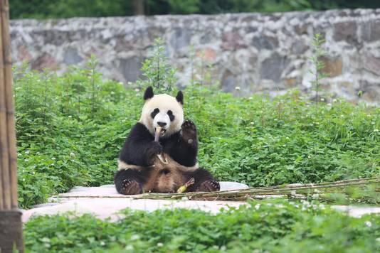 Panda Xing Ya krijgt in Rhenen elk half uur 800 nieuwe gezichten te zien.