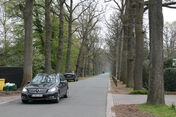 De bestaande bomen in de Kasteeldreef worden vervangen door zomereik.