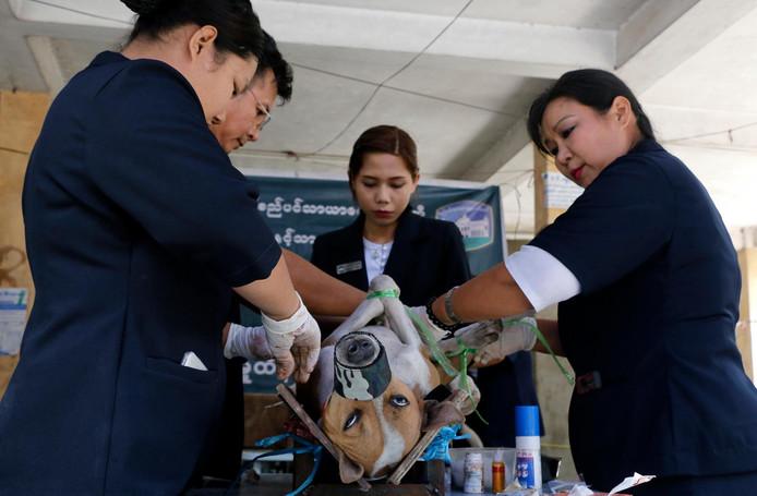 Een zwerfhond in Myanmar krijgt in injectie tegen rabiës.