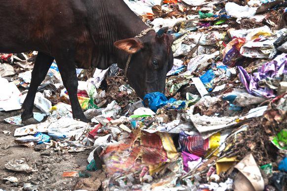Voorbeeldfoto van koe die afval eet.
