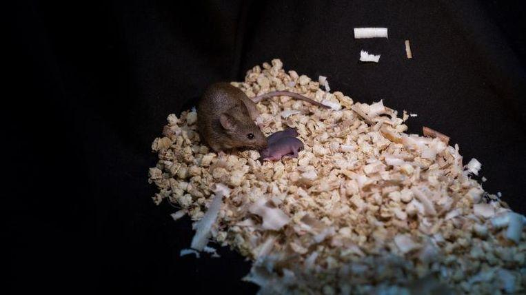 Een gezonde volwassen muis met twee moeders, hier met haar eigen nageslacht.