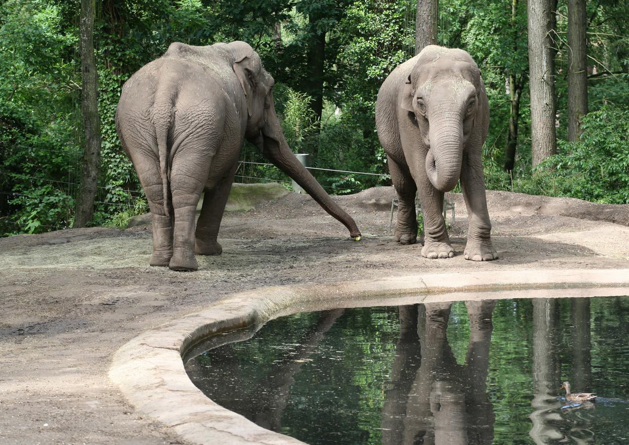 Rekka (rechts) en maatje Pinky in Burgers' Zoo.