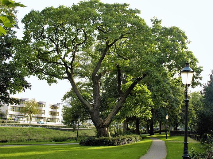 De trompetboom in het Stadswalplantsoen in Amersfoort is ruim een eeuw oud.