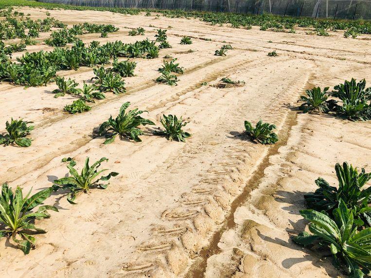 De overvloedige regenval van 8, 9 en 10 maart en de herhaaldelijke voorjaarsonweders hebben vooral bij de chicoreikwekers een ravage aangericht.