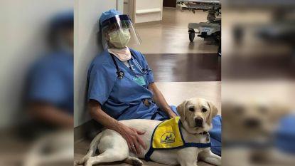 Assistentiehond Wynn troost zorgverleners in de frontlinie in Denver
