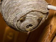 Flink aanpoten voor wespenbestrijder in deze regio: 'Echte overlast komt nog'