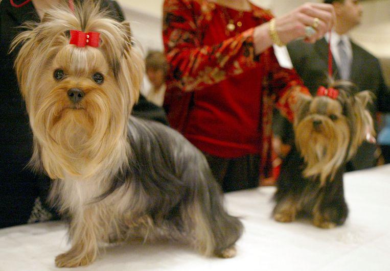 Foto ter illustratie: twee Yorkshire-terriërs op een hondenshow in New York in 2004.