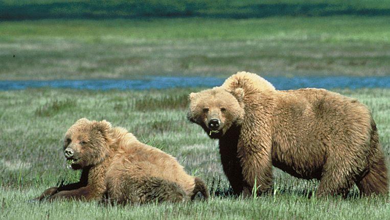 Grizzlyberen in Yellowstone National Park.