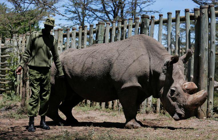 laatste noordelijke witte neushoorn sudan gestorven | de volkskrant