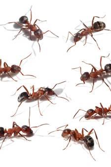 Hillegersberg geplaagd door bijtgrage mieren
