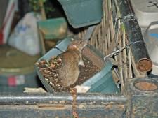Partij voor Zeeland: kan de bruine rat corona verspreiden?