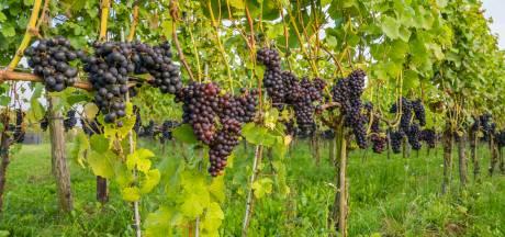 Wijn van Nederlandse bodem: er zitten heel goede bij