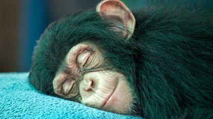 Nachtactiviteit aap levert inzicht in evolutie van menselijke slaap