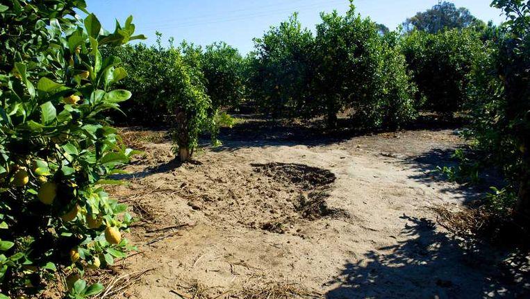 De plek in de citroenboomgaard in Alquerías, ongeveer 12 kilometer van Murcia, waar de Spaanse politie de lichamen van oud-volleybalster Ingrid Visser en haar partner Lodewijk Severein heeft aangetroffen Beeld anp