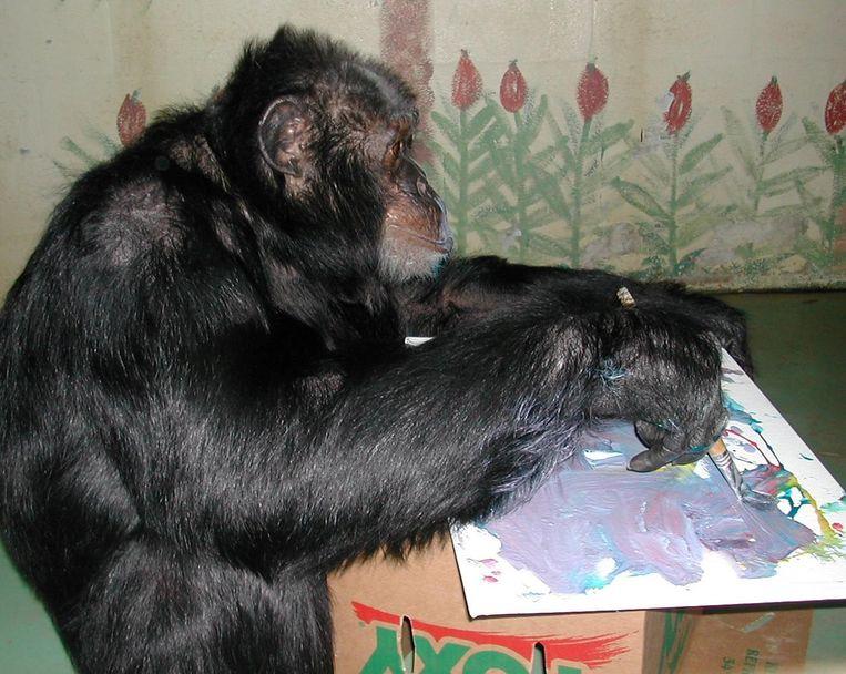 Chimpansees zijn minstens even intelligent als honden.