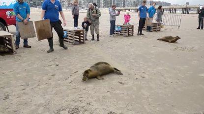 Vier zeehondenpups uitgezet op het strand van Blankenberge