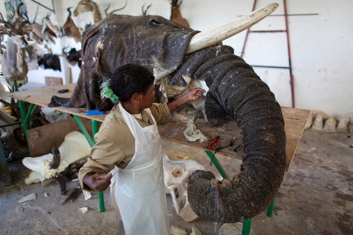 De neus van een olifant wordt opgezet.