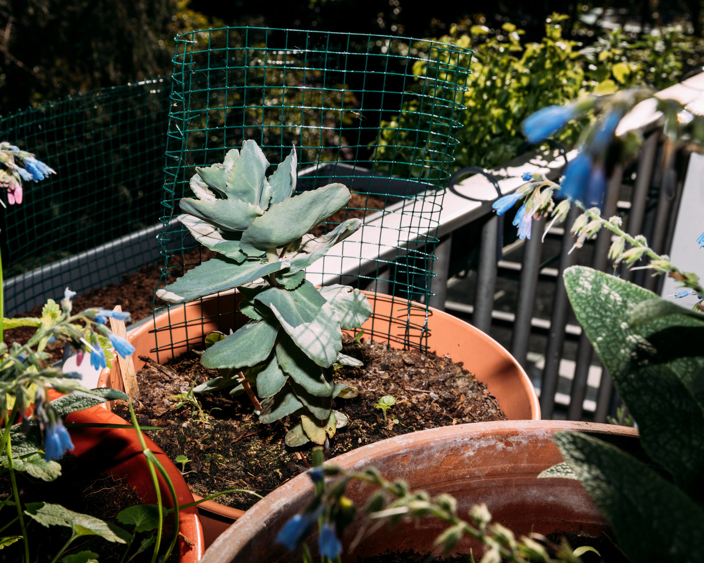 Links smeerwortel bloemetjes, rechts een Hemelsleutel.   Beeld Rebecca Fertinel