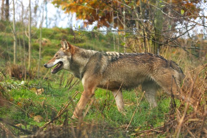 In Nordhorn is een wolvin gesignaleerd.