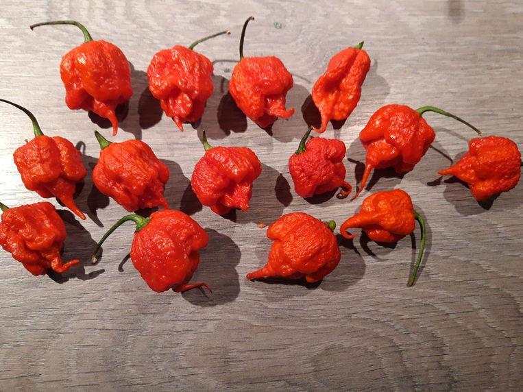 De Carolina Reaper is de heetste peper ter wereld. Pikant eten verzekerd. Horeca Webzine. Nieuws.