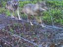 De eerste foto van het wolvenpaar op de Veluwe