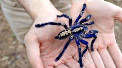 Maak kennis met de blauwe tarantula
