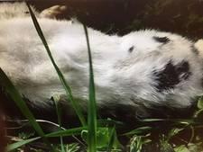 Onthoofd konijn in tuin Wageningen