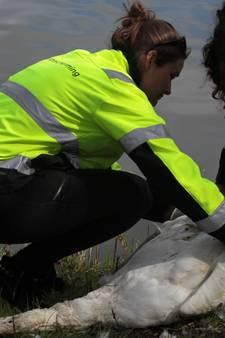 Zwanenfluisteraar vindt doodgebeten zwaan langs Wijchens Meer
