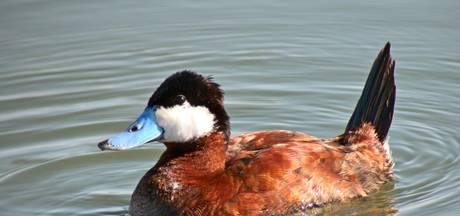 Exotische eenden moeten weg uit Zeeland