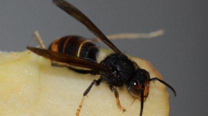 Klopjacht op Aziatische hoornaar