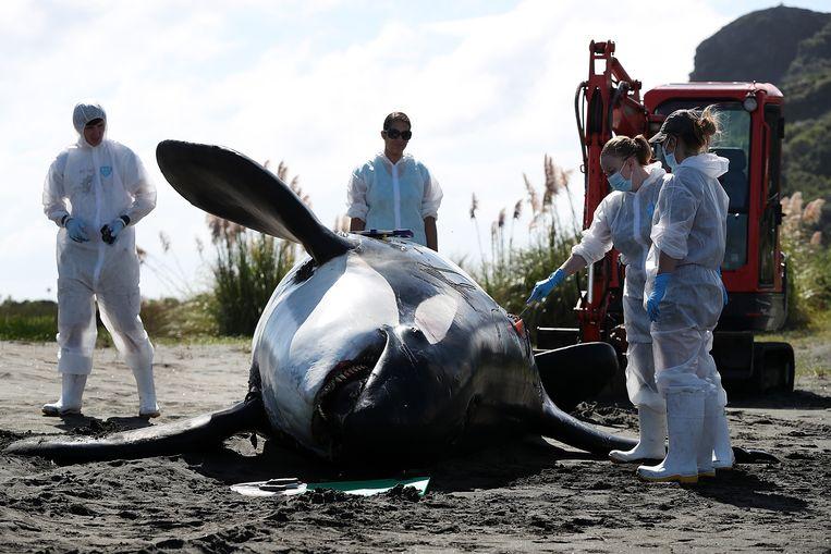 Een in Nieuw Zeeland aangespoelde orka wordt uitvoerig onderzocht. Monsters moeten uitsluitsel geven of het dier om het leven is gekomen door vervuilde stoffen. Beeld Getty Images