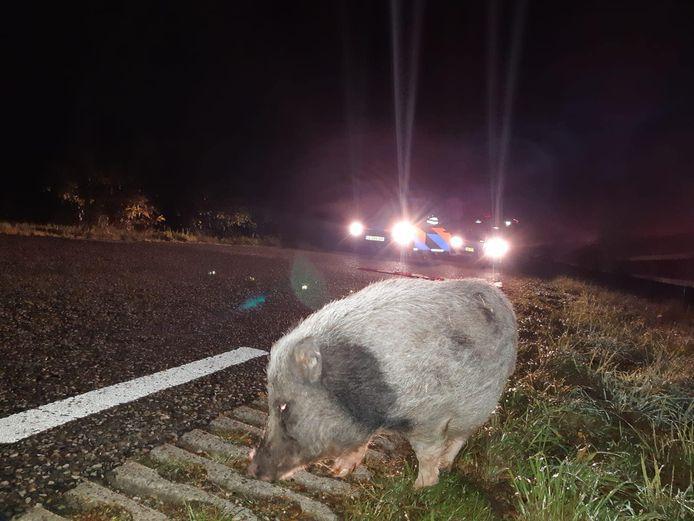 Het varken werd door agenten op straat aangetroffen.
