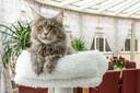 Kat Chiva is een Maine Coon, een van de grootste kattenrassen.