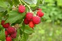 Tak van rijpe frambozen in de tuin. In de kas smelten de vruchten van de warmte.