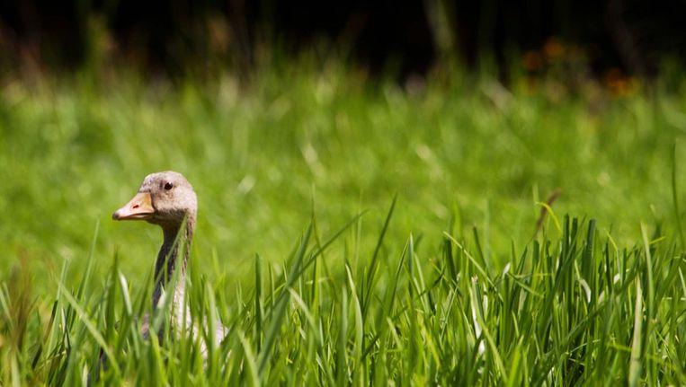De Vinkeveense plassen en het Goois Natuurreservaat moeten door zonder Amsterdam. Foto © anp Beeld