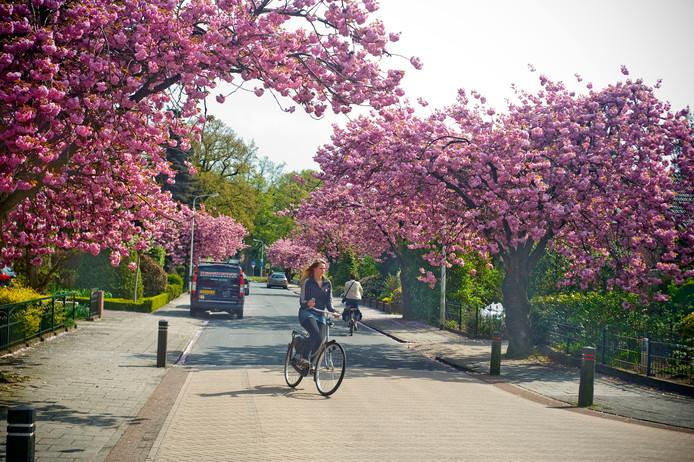 Eind april, begin mei bloeit in Nederland de Japanse sierkers, zoals hier aan de J.W. Hagemanstraat in Eibergen. Helaas is de schoonheid van korte duur: de bomen staan slechts enkele dagen in bloei.