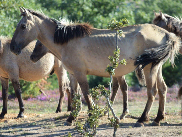 Een deel van de Flevolandse konikpaarden in Spanje is mager, veroorzaakt door een parasiet.