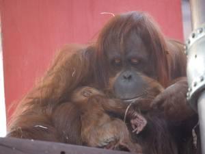 Un bébé orang-outan de Sumatra décède à Pairi Daiza