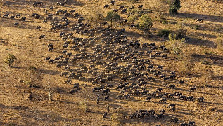 Een van de grootste kuddes olifanten in Tsjaad, waar de dieren sinds 2011 beter worden beschermd. Beeld Brent Stirton